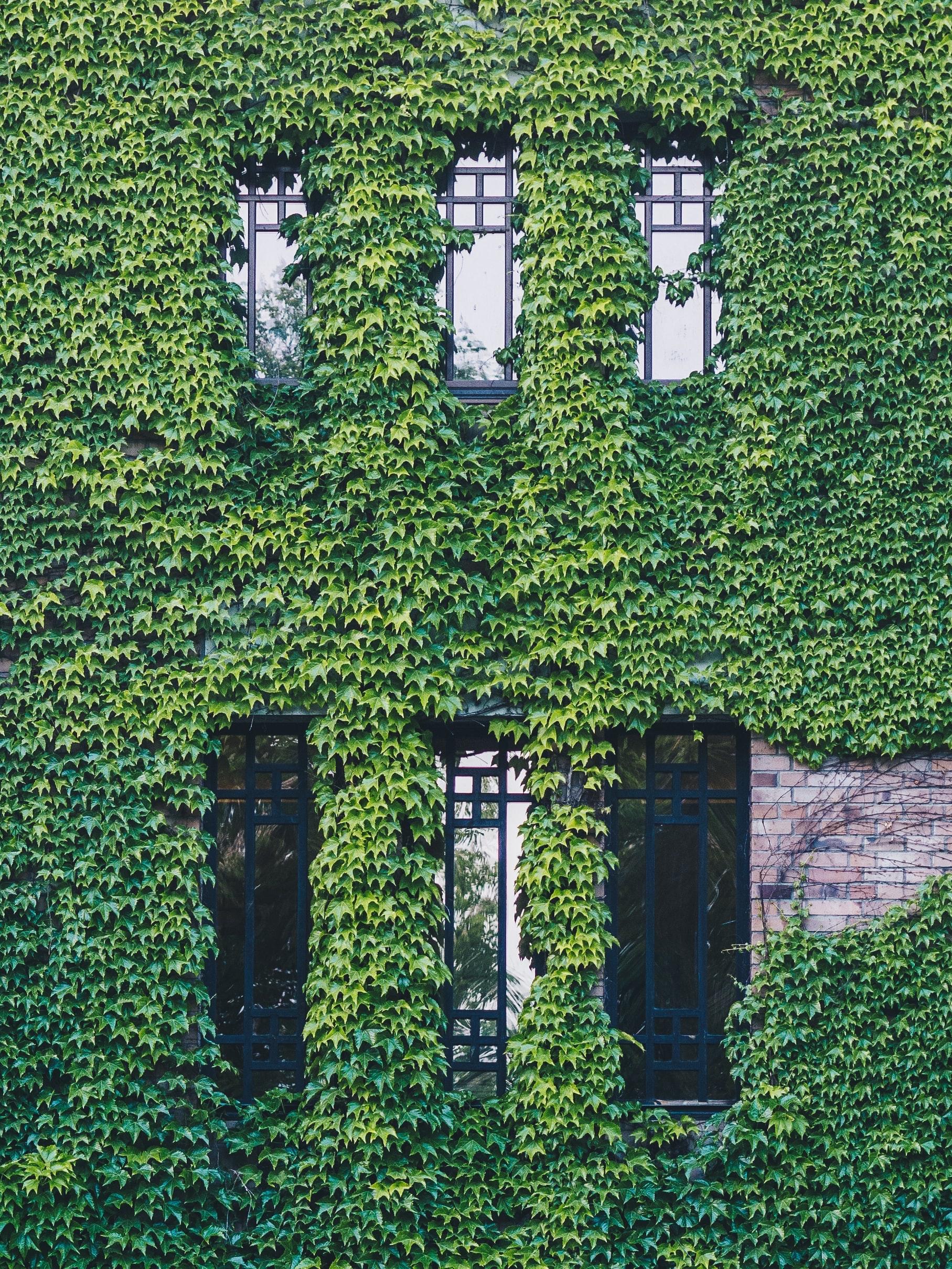 Ściana budynku zabytkowego porośnięta wcałości pnączami.