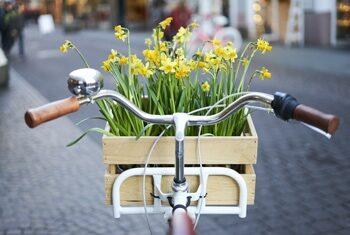 Kierownica roweru z zawieszoną skrzynką wypełnioną żonkilami.
