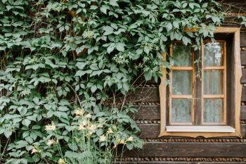 Bluszcz porastający drewnianą ścianę budynku ze starodawnym oknem.