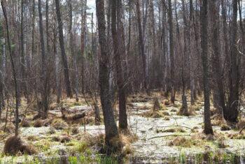 Las z widoczną warstwą runa oraz stojącą wodą.